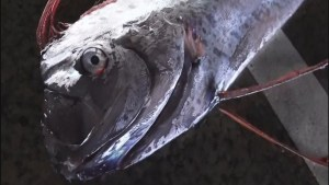Rare oarfish caught alive off Japan