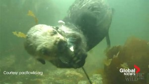 Curious sea otter wrestles with underwater microphone