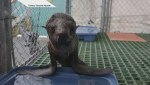 Rescued Nothern Fur Seal pup admitted to Vancouver Aquarium