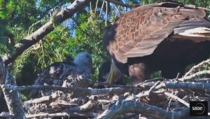 Birds of a feather: Bald eagle takes prey under its wing