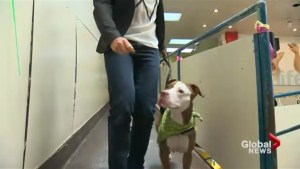 Montreal SPCA says Quebec dangerous dog bill is 'catastrophic'