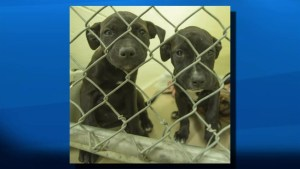 Two men facing charges after large number of dogs seized from house