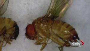 Fruit fly damaging cherry crops in the Okanagan