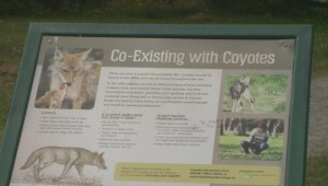 New concerns about coyotes after incident involving child