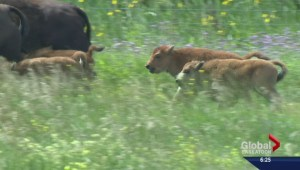 U of S produces world's first in vitro bison calves