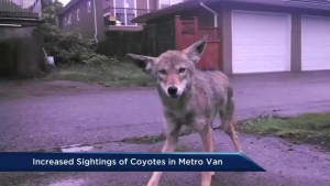 Increased sightings of coyotes in Metro Vancouver