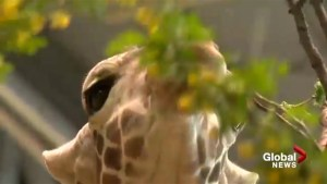 Banquet-on-a-branch: Giraffes enjoy spring smorgasbord
