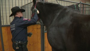 Calgary police welcome new horse to the service