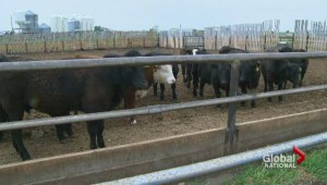 Earls ditching Alberta beef for certified humane beef from U.S.