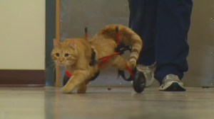 Popular Idaho cat in wheelchair up for adoption