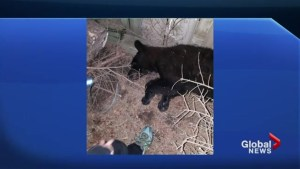 Bear spotted roaming streets of Whitby gets tranquilized