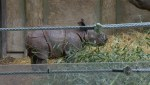 Baby rhinoceros makes first public appearance at Toronto Zoo