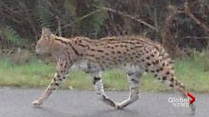 Rare African serval killed on Vancouver Island