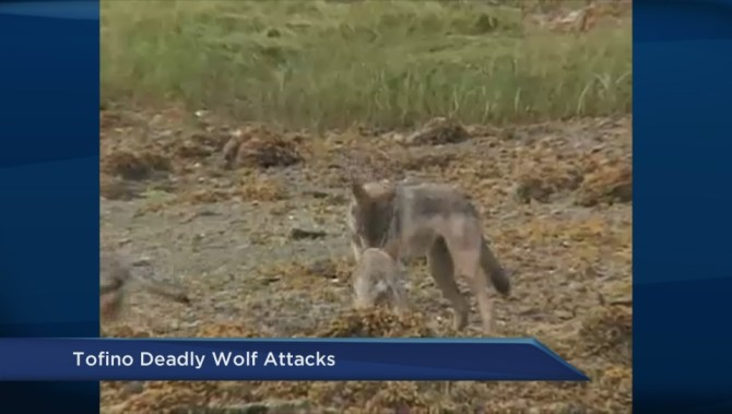 Wolf Attacks Dog Vancouver Island