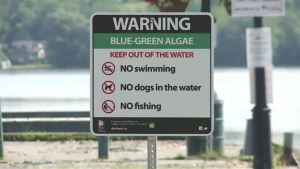Blue-green algae found in Lake Scugog