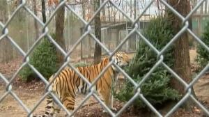 Tigers at North Carolina zoo play with discarded Christmas trees