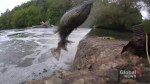 Salmon spotted jumping in Toronto rivers
