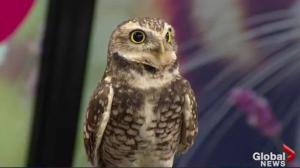 Edmonton Valley Zoo: Chutter the burrowing owl