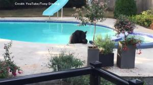 Bear takes a dip in Vancouver couple's pool