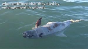 Vaquita porpoise critically close to becoming extinct