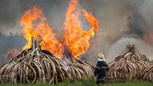Kenya burns 105 tons of Ivory to deter poaching