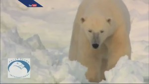 The impact of climate change on polar bears