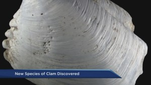 New species of clam discovered