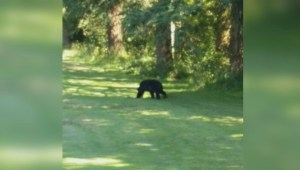 Bear spotted on Vancouver's Fraserview Golf Course put down by conservation officers