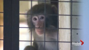 Sanctuary that houses IKEA monkey is looking for new home