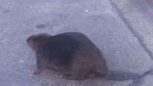 Slow moving beaver on West Vancouver road creates traffic problem