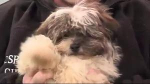 "Adopt a Pet: ""Wee Fluffball"" the Havanese"