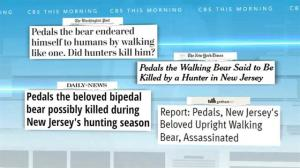 Was 'Pedals' the bipedal bear killed by authorities in New Jersey?