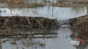 Beaver caught in controversial trap in Langley