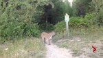 Whistler cougar warning