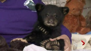 Langley's Critter Care helps rescue abandoned cubs
