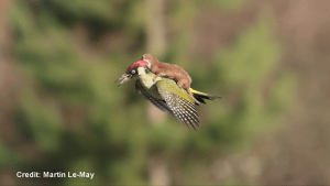 Photo of a weasel riding a woodpecker goes viral