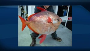 Opah are the world's first warm-bodied fish discovered in deep ocean