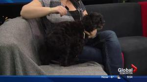 SCARS tries to find a home for poodle with health issues