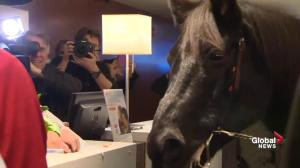 Grey Cup horse led into lobby of Toronto hotel in Grey Cup tradition