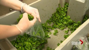 Family elbow deep in N.B. tradition picking fiddleheads