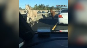 Horse and mule obey traffic rules and trot on to a California highway