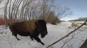 100 wood bison flown into Alaska to re-establish species