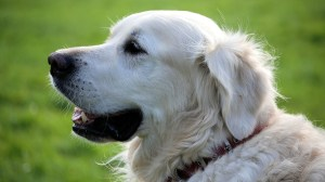 Dogs really do understand human language, study suggests