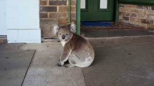 Koala's main street walkabout goes viral