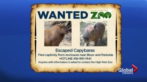 High Park Zoo continues search for 2 missing capybaras
