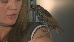 Rescued bird wishes Canada happy birthday in its own voice