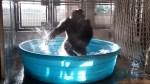 Video captures breakdancing gorilla's pure joy of being in kiddie pool