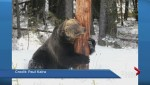 Lack of berries leading to aggressive bear activities