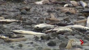 Experts rule out human activity in death of thousands of herring in Nova Scotia