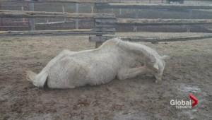 Ontario horse sanctuary accused of neglect